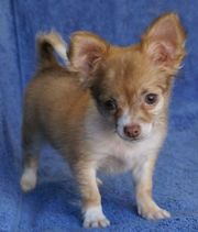 Cute Chihuahua Puppies